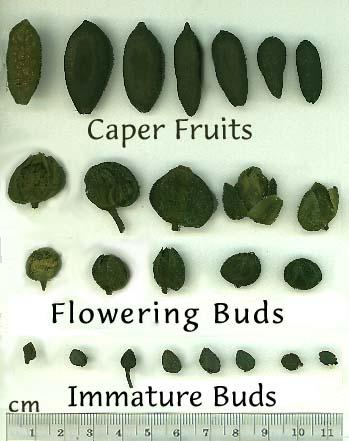 Caper - Capparis spinosa