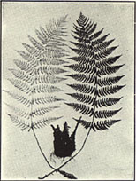 Leather woodfern
