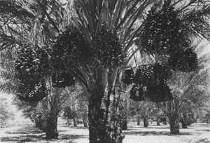 8-year old-'Deglet Noor' date palm