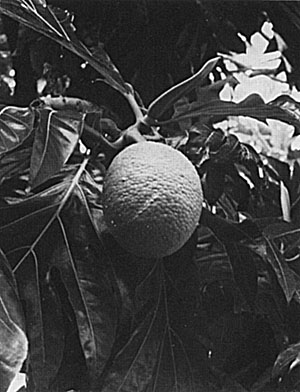 Breadfruit is borne singly or in 2's or 3's at the branch tips