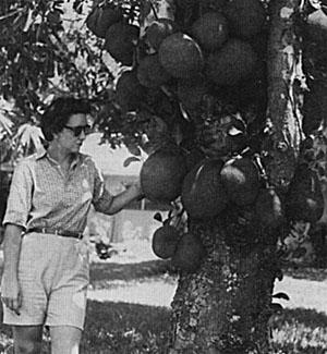 A heavily fruiting jackfruit