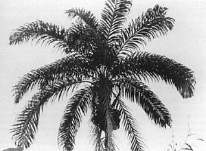 single-stemmed pejibave palm