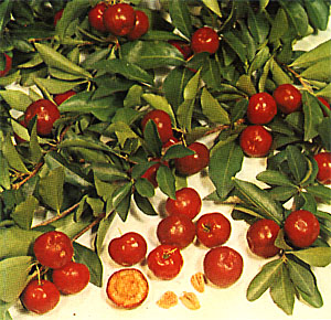 Images Of Acerola Cherry