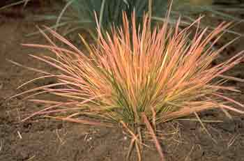 Orange Sedge Ornamental Grass Ornamental grasses and sedges as new crops fig 1 bluebirds variegated tufted hairgrass deschampsia caespitosa l p beauvois northern lights workwithnaturefo