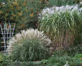 Ornamental grasses and sedges as new crops bluemel selection the dwarf miscanthus sinensis andersson adagio workwithnaturefo