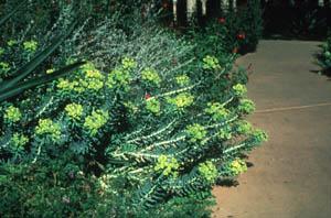 Euphorbia biglandulosa Desf. (Gopher Plant)