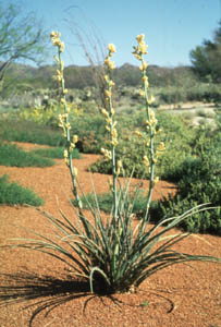Hesperaloe parviflora (Torr.) J. Coult., 'Yellow' (Yellow yucca)