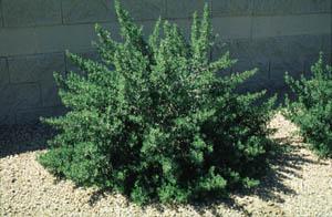 Leucophyllum langmaniae Rio Bravo