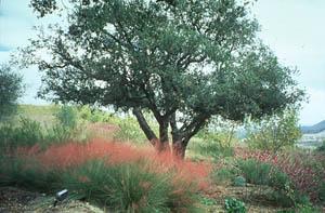 Muhlenbergia capillaris (Lam.) Trin. Regal Mist
